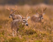 Three Whitetail Bucks
