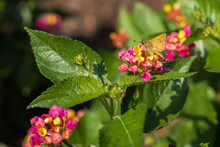 Skipper Butterfly Sitting On Lantana Flowers