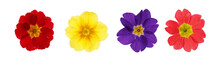 Set With Different Beautiful Primula (primrose) Flowers On White Background, Banner Design. Spring Blossom