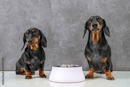 Fotografia Portrait of two generations of obedient dachshund dogs sitting on gray background with bowl and waiting for feeding, copy space
