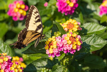 Eastern Tiger Swallowtail On Lantana Wildflowers