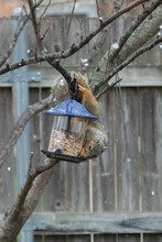 Upside Down Squirrel On Bird Feeder In The Snow By Wooden Fence