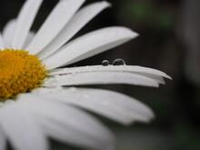 Close-up Of Raindrops On Daisy Flower