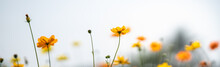 Closeup Of Yellow Cosmos Flower With White Sky As Background Under Sunlight Using As Background Natural Flora Landscape, Ecology Cover Page Concept.