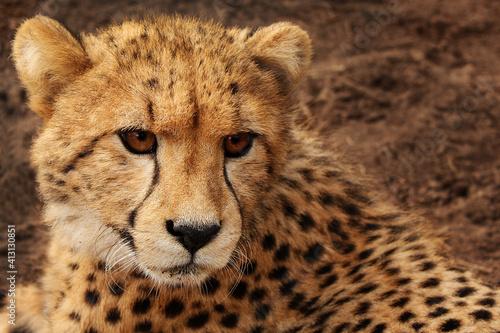 Obraz na plátně Cheetah Close Up