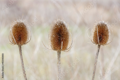 Dipsacus fullonum. Detail of the spiny and conical heads of the carders thistle. Wild teasel. © LFRabanedo