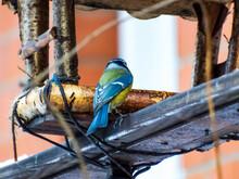 Eurasian Blue Tit (Cyanistes Caeruleus) Visiting Bird Feeder House Made From Wood