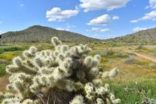 Closeup Shot Of Teddy-bear Cholla Cactus With Mountain Background In Sonoran Desert, Arizona