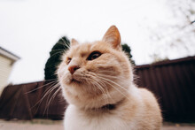 Funny Portrait Of A Ginger Cat Shot With A Wide-angle Lens