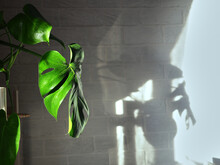 The Monstera Plant Stands On A Shelf In The Apartment By The Window, With A White Brick Wall In The Background. The Interior Of The Apartment