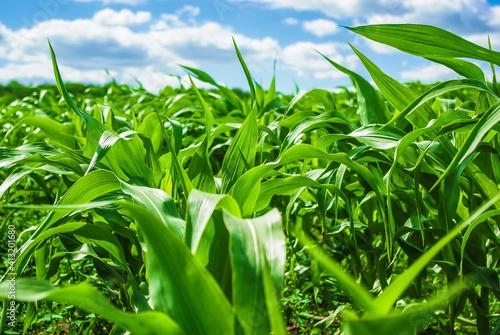 Slika na platnu Close-up Of Crops Growing On Field