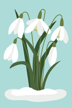Snowdrops In The Snow. Vector, White Small Flowers. Symbol Of The Arrival Of Spring. The First Flowers, Delicate Light Forest Flowers. Isolated Object.