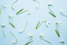 Fresh White Snowdrops With Green Leaves On Light Blue Table Background. Pastel Color. First Messengers Of Spring. Beautiful Flower Pattern. Top Down View. Closeup.