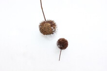Dry Sycamore Seeds Fell From The Tree And Lie In The Snow .