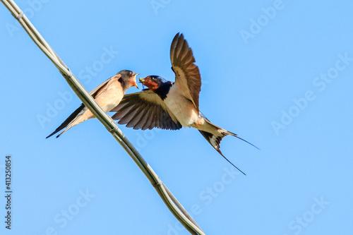 Foto Barn Swallow Feeding A Fly To Fledgling