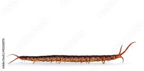 Canvastavla Adult Chinese red-headed centipede aka Scolopendra subspinipes mutilans