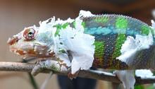 Close-up Of A Chameleon Shedding Its Skin