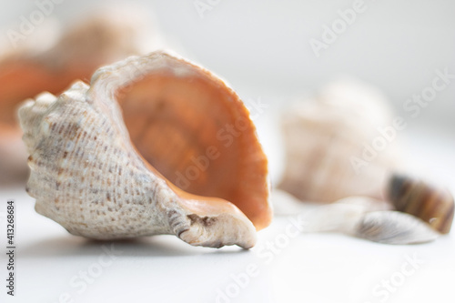 Fotografie, Obraz conch cockleshell on white background, close up