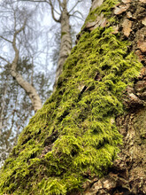 Moss Growing On Thick Textured Tree Bark
