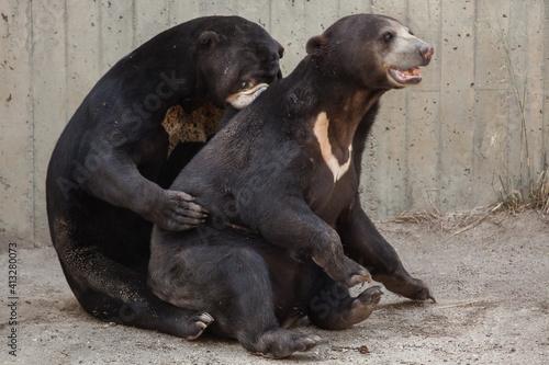Obraz na plátně Malayan sun bear (Helarctos malayanus)