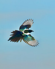 Magpie In Flight, Banking Into A Turn, Which Showcases The Topside Of The Wings'  Iridescent Plumage