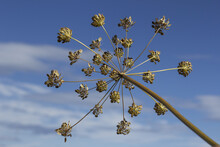 Low Angle Shot Of Dried Cow Parsnip