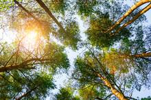 Spring Landscape, Spring Tree Tops Against Blue Sky, Spring Forest Landscape Scene