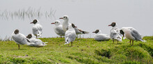 The Brown-hooded Gull (Larus Maculipennis)