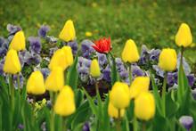 Red Tulip Among Yellow Tulips