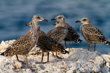 Young Yellow-legged Gull Colony On Brijuni National Park