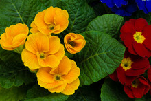 Colorful Primrose Flowers. Primula Vulgaris Natural Garden Decoration Background.