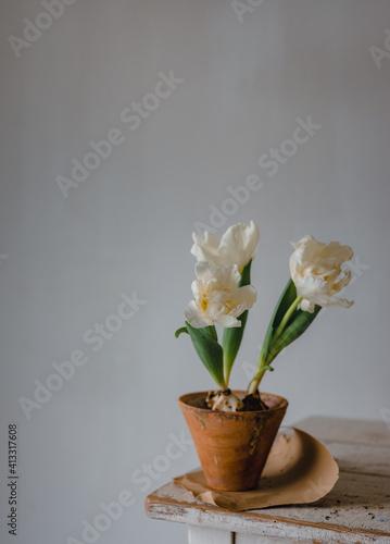 Aufgeblühte weiße Tulpen in einem Blumentopf