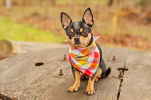 Little Chihuahua In The Park. A Dog In A Bandana Around His Neck. Chihuahua In The Fall.