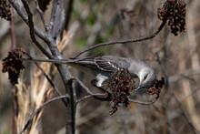 Northern Mockingbird Eating Winged Sumac Berries