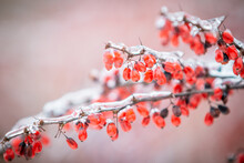 Bearberry Cotoneaster In Winter
