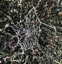 Frozen Cobweb On Evergreen Bush In Winter.