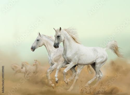 Fototapety, obrazy: two arabian stallions running in desert with herd