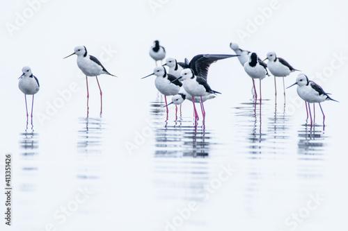 A Group Of White Headed Stilt In The Water Fotobehang