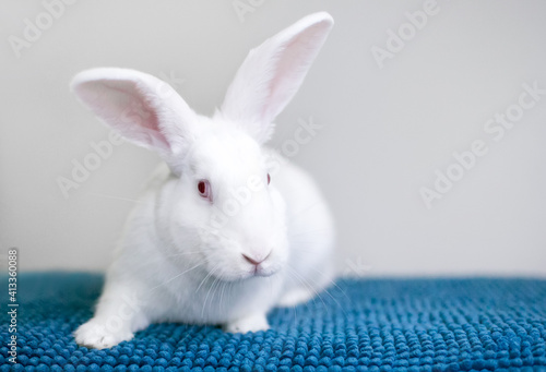 Fotografie, Obraz A white American rabbit with pink eyes sitting on a blue blanket