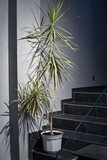 Big dracaena plant used for decorating in contemporarry office interior
