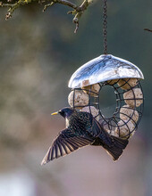 Detail Of The Wing Of A Starling At A Fat Feeder.