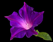 Violet Flower Of Ipomoea, Japanese Morning Glory, Convolvulus, Isolated On Black Background