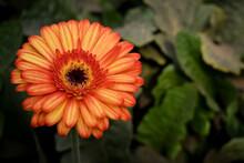 Flor En Color Anaranjado Plantada En Campo De Gerberas En Antigua Guatemala