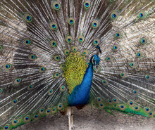 Peacock Feather Tail Pattern Background.