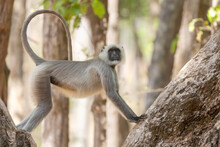 India, Madhya Pradesh, Kanha National Park. A Langur Resting In The Trees Showing Its Long, Graceful Tail It Uses For Balance.