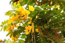 State Of Qatar, Doha. Yellow Flowers Of Golden Shower Tree (Cassia Fistula).