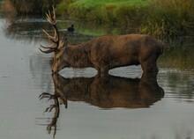 Moose Drinking Water In Lake