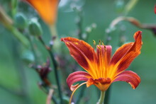 Close-up Of Orange Day Lily Blooming In Park