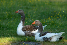 Two Domestic Geese Resting On The Grass On Spring Evening