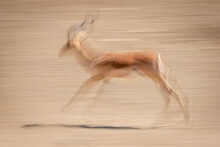 Slow Pan Of Male Common Impala Cantering